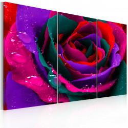 Obraz  Rainbowhued rose