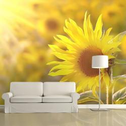 Fototapeta  Sunflowers bathing in the summer sun