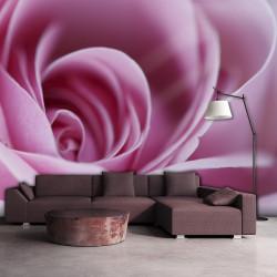 Fototapeta  Pink rose