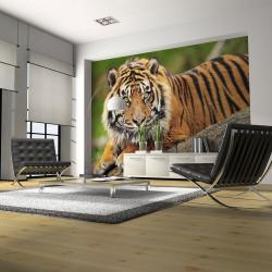 Fototapeta  Sumatran tiger
